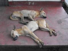 Sleeping dogs in Tasbapauni