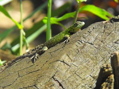 Lizard at the eco-lodge in Matagalpa