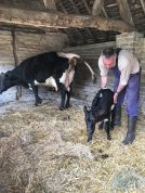 Newborn calf at Mary Arden's Farm