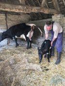 Newborn calf at Mary Arden's Farm