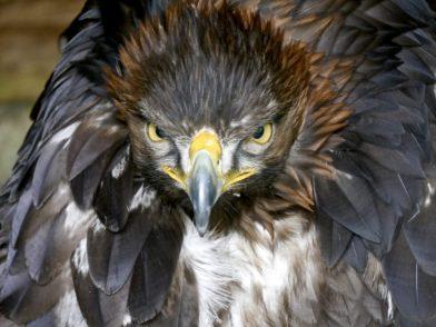 Eagle at Mary Arden's Farm