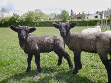 Lambs at Mary Arden's farm